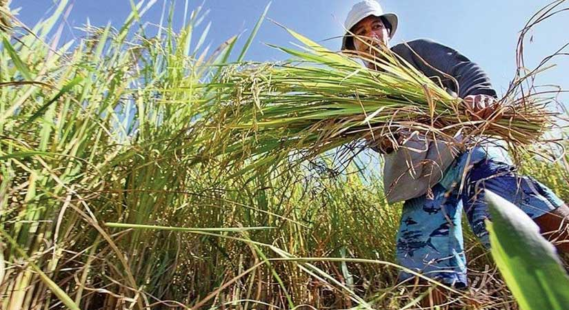 palay rice farmer 010320 - Palay farmgate price rises 0.1% in mid-December