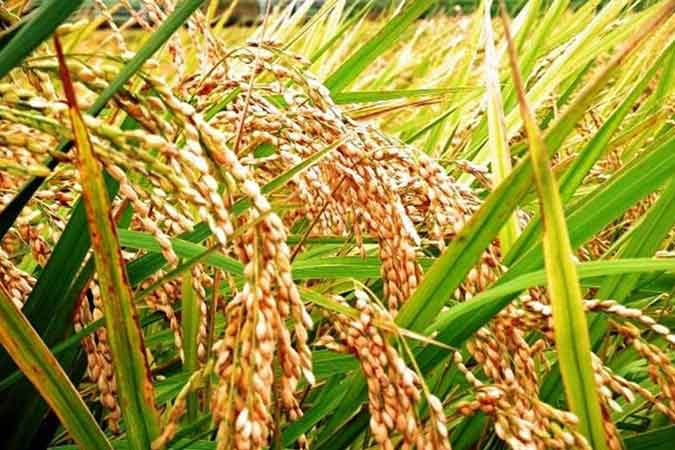 palay rice 041620 - Palay prices rise 1.7% in late March